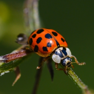 asian beetle